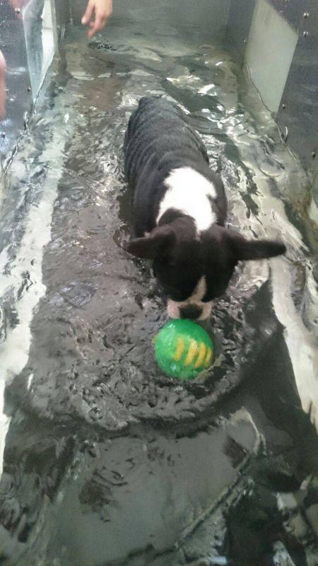 Quanto Custa Fisioterapia de Cachorro em Embu Guaçú - Fisioterapia para Cachorros