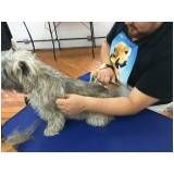 Hand-Stripping em Fox Terrier sp na Lapa