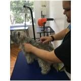 Hand-Stripping em Fox Terrier na Vila Prudente