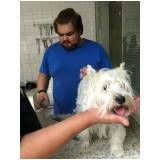 Stripping Scottish Terrier sp no Jardim Bonfiglioli